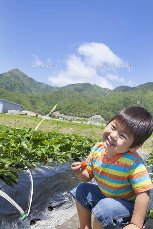 イチゴ狩りを楽しむ子供 FYI00264968