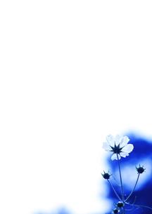 花 ハイキー コスモス FYI00265988