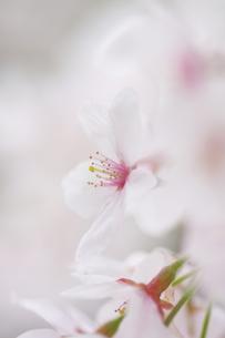 桜のアップ FYI00266047