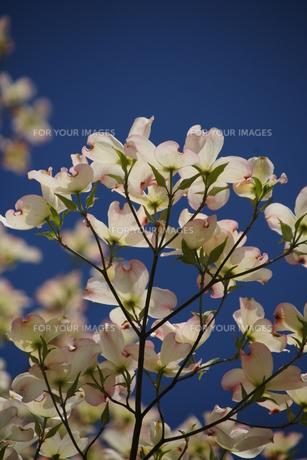 花水木2 FYI00266789