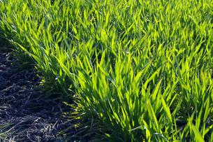 麦の若葉 FYI00278018