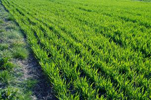 若葉の麦畑 FYI00278032