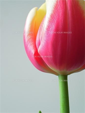 ピンクのチューリップ FYI00278610