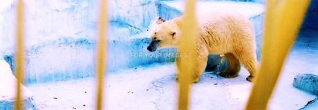 白熊のあのこ FYI00280755