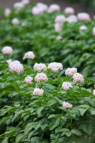 ジャガイモの花 FYI00283640