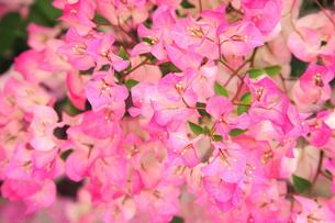 ブーゲンビリアの花 FYI00283645