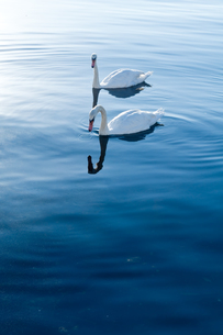 白鳥 FYI00285313