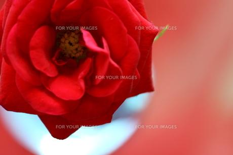 赤いミニバラと丸い花瓶 FYI00290101
