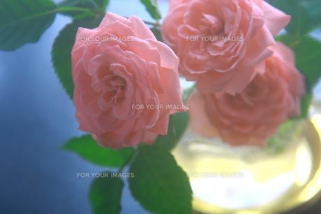 ソフトなピンク色の薔薇 FYI00290113