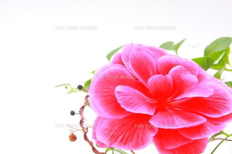 ピンク色の大輪のベゴニアとツタのアップ FYI00290114