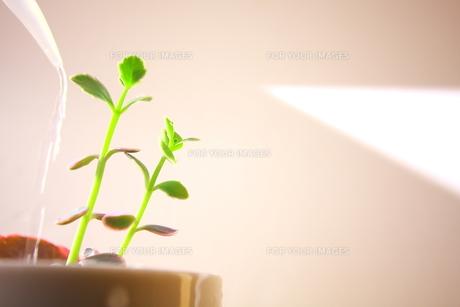 観葉植物の水やり FYI00290119