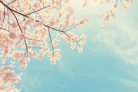 ブルックリンの桜 FYI00290131