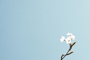 プロスペクトパークの桜 FYI00290138