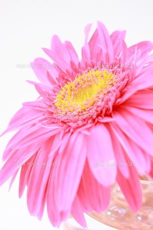 ピンクのガーべラ FYI00290145