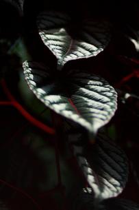 セイシカズラ 観葉植物 FYI00290208