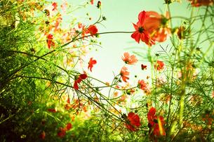 秋桜と風 FYI00299776