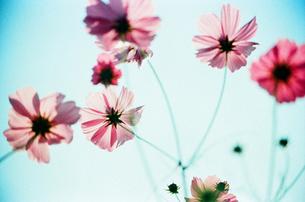 秋桜と空 FYI00299784