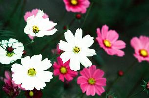 秋桜 白とピンク FYI00299794