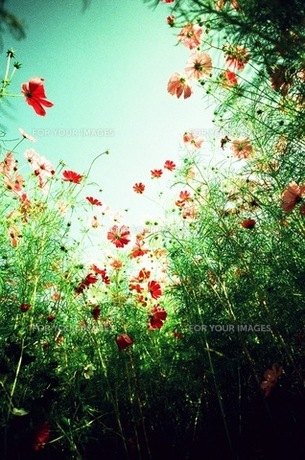 秋桜 ローアングル FYI00299801