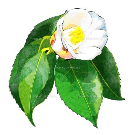 白い椿 FYI00299964