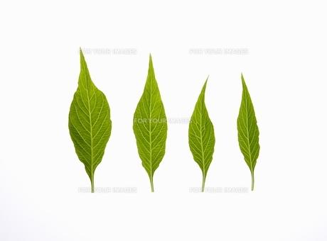四枚の葉 FYI00303745