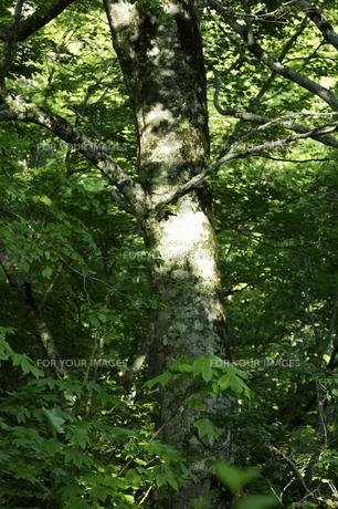 新緑のブナの木 FYI00304022