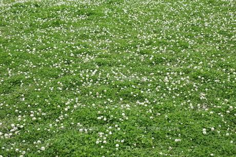 シロツメクサの草原 FYI00304363