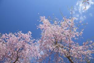 桜 FYI00307413