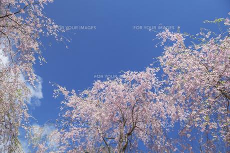 桜と青空 FYI00307420