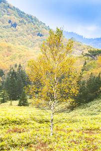 白樺の?葉と山並み FYI00307470