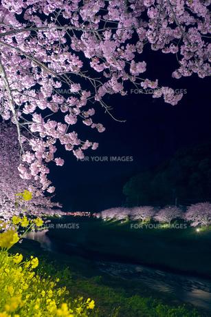 ライトアップの桜並木 FYI00307501