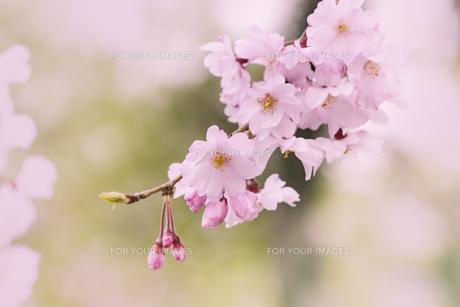 桜 FYI00307571