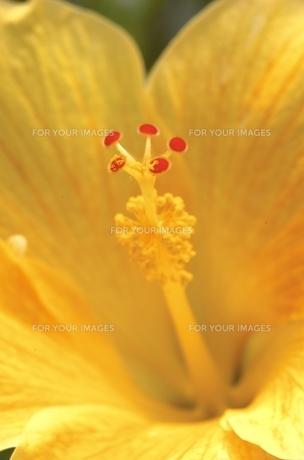 黄色のハイビスカス FYI00310854