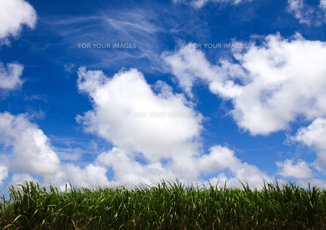 夏空とさとうきび畑 FYI00310933