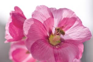 花とミツバチ FYI00311368