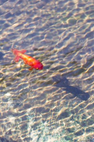 金魚 FYI00311378
