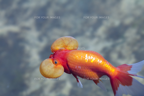 金魚 FYI00311394