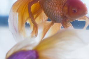 金魚 FYI00311399