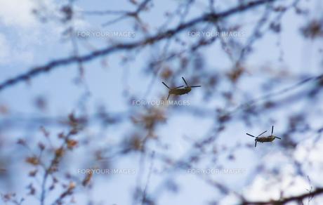 桜とヘリコプター FYI00311436