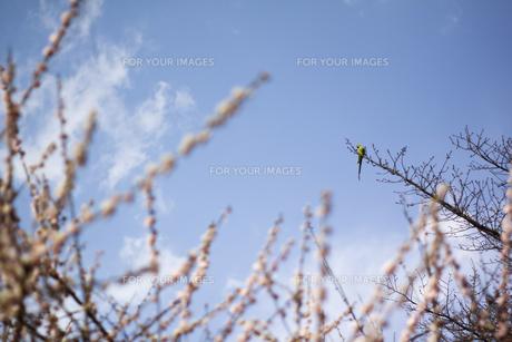 桜と鳥 FYI00311440