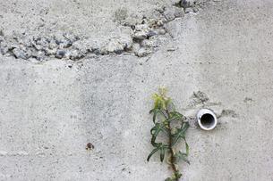 壁を登る草 FYI00311452