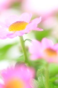 ほんのり春色 FYI00314629