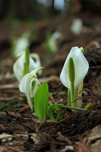 春を告げる FYI00314667