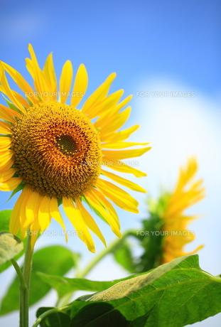 夏の笑顔 FYI00314690