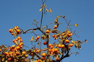 柿の木 FYI00316624
