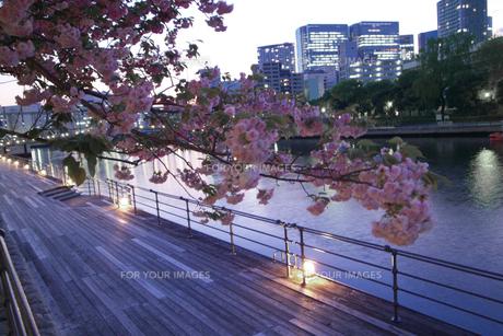 夜桜/運河 FYI00317726