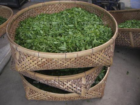 収穫された新茶の葉 FYI00317736