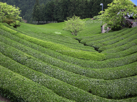新茶の緑の茶畑 FYI00317737