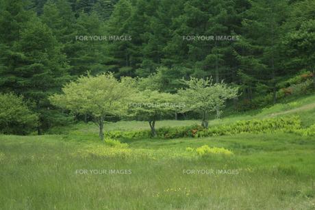 新緑の高原と立ち木 FYI00317738