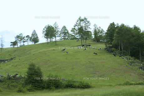 高原の牧草地と牛 FYI00317741